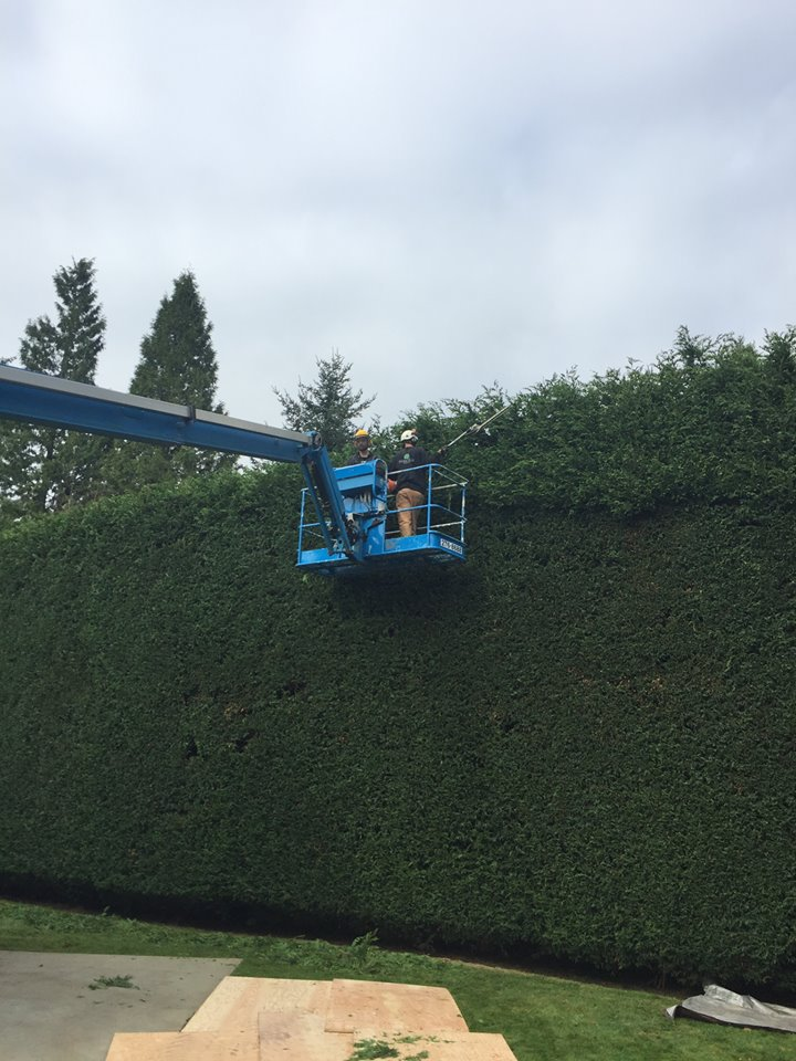 Langley Hedge Trimming