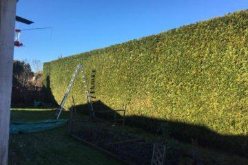 Maple Ridge Hedge Trimming