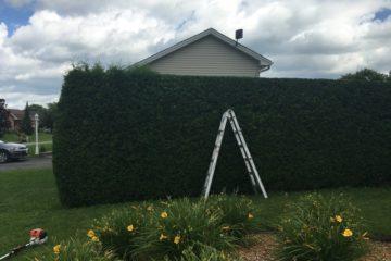 Surrey Hedge Trimming